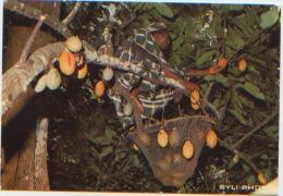 République De Guinée, Fédération De Gueckedou, Cueillette Du Cacao, Ed. Syli-Photo N°31/1187, N'a Pas Voyagé, TBE - Guinée