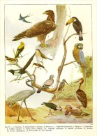 # BIRDS 1930s Art Print Stampa Gravure Poster Druck Italy Vogel Oiseaux Pajaros Aves - Lithographies