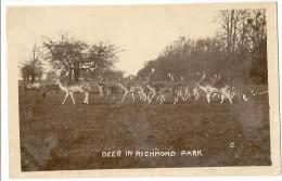 UK13 - Deer In Richmond Park - London Suburbs