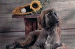 DOG  - AFGHAN HOUND  / P385 / - Hunde