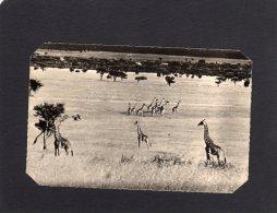 45521     Congo-Brazzaville,  A. E. F. -   Troupeau De  Girafes,  NV - Congo - Brazzaville