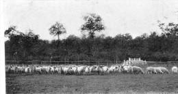 Haras Du Perray - Moutons D'Oxford - 2 Scans - Le Perray En Yvelines