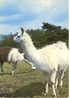 Lamas - Aunay Sur Odon Parc Zoologique De Jurques (zoo) : Les Lamas N°5 Le Goubey - Autres