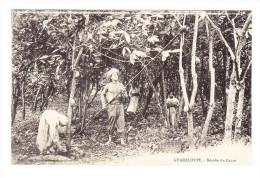 Guadeloupe - Recolte De Cacao - - Cultures