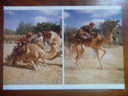 Racing Camel, Al Mintrib. Oman - Oman