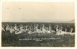 Réf : A-14-0612 : Oregon Pelicans Bird Islands Lower  Klamath Falls Hot Springs - Non Classés