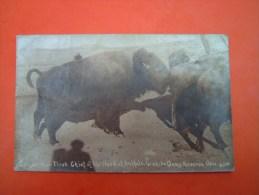 Post Card PHOTO WICHITA - First Chief Of The Herd Of Buffalo Wichita Oame Preserve - Bates - Oklaoma - Etats-Unis