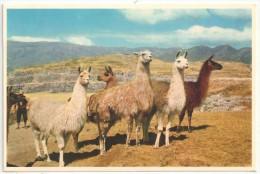CUZCO, Peru - Grupo de Llamas en las Ruinas de Sacsahuaman