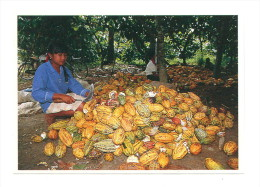 Images Chocolat Poulain : Entaillage Des Cabosses à La Machette - Poulain