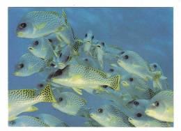 Djibouti Féérie Sous Marine Tropicale Poissons Banc De Gaterin Gaterinus - Djibouti