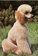 DOG  -  CANICHE / POODLE / P542 / - Hunde