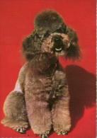 DOG  -  CANICHE / POODLE / P552 / - Hunde