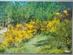 17 - Printemps En Forêt De La Coubre (les Genêts En Fleurs - LA PALMYRE ) - Les Mathes