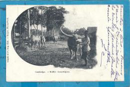 Cambodge : Buffles Domestiques - Cambodge