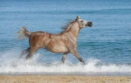 New Postcard, Postkarte, Carte Postale, Animal, Tier, Animale, Horse, Water, Sea, Coast - Horses