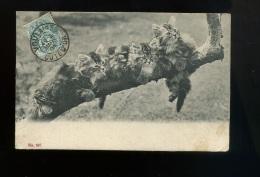 Carte Postale Pionnière N° 697 Thème Chat - Chats -Cat - Katze - Chats Sur Branche D'arbre - Oblitération Voulaines 1904 - Katzen