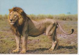 (AN180) LION. OROSZLAN. LOWE - Lions