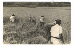 MADAGASCAR  /  TRAVAUX  DES  CHAMPS  ( Récolte Du RIZ ) /  CARTE-PHOTO  ( Cachet  De  FIANARANTSOA , En 1953 ) - Madagascar
