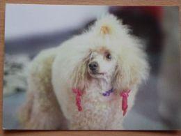 Dog  Chien  Hund  /poodle - Cani