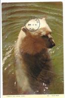 OURS POLAIRE  1953 - Bären