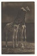 Giraffes. Girafen. - Girafes
