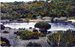Faune Africaine. Trupeau D'elephants A L'ombre Des Euphorbes - Elephants