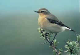 Bird, Oiseaux CPA Tapuit Voornes Duin 20 - Vögel