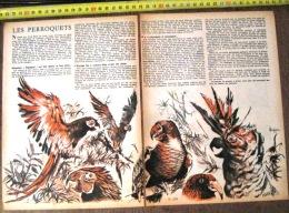 DOCUMENT ANIMALIER ILLUSTRE PAR RENE LE PERROQUET ARA CACATOES PERRUCHE NESTOR KAKAPOS - Old Paper