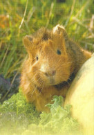 GUINEA PIG * ANIMAL * Soundcard 01 * Hungary - Animali