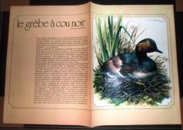 DOCUMENT ANIMALIER OISEAU JOLIMENT ILLUSTRE LE GREBE A COU NOIR - Collections