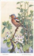 BIRD POSTCARD - CHAFFINCH.  WINIFRED AUSTEN - Birds
