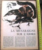 DOCUMENT ANIMALIER ILLUSTRE PAR RENE HAUSMAN LA MUSARAIGNE SUR L ARBRE - Old Paper