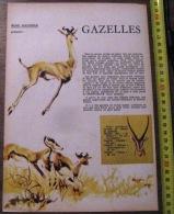 DOCUMENT ANIMALIER ILLUSTRE PAR RENE HAUSMAN LA GAZELLE - Old Paper