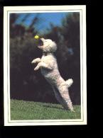 CHIENS : Chien Caniche Dog Hund - Chiens