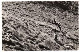 ENVIRONS De LUCHON (31) - CHEVRE ET CHEVREAU SURPRIS PAR DES CHASSEURS LUCHONNAIS 28 AOUT 1952 - CHASSE / ANIMAUX - Non Classés