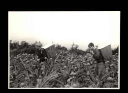 29 - CLEDER - Ramassage Des Artichauts - 1985 - Cléder