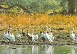 Afrique  TCHAD -  ZACOUMA Pelicans  (p�lican  oiseau faune)(clich� Michelle ANNA n�40)* PRIX FIXE