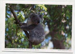 AUSTRALIA - AK 191499 New South Wales - Koala Bei Port Macquarie - Port Macquarie