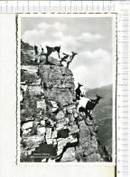 CHEVRE -   Petites Chèvres  à La  Montagne  En  VALAIS  En  SUISSE - Animales