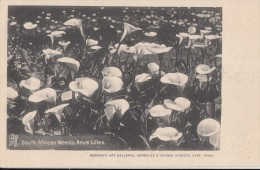 1900 CIRCA - SOUTH AFRICAN WEEDS , ARUM LILIES - Afrique Du Sud