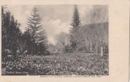 1900 CIRCA - FIELD OF ARUM LILIES - Afrique Du Sud