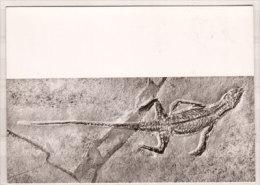 Bürgermeister - Müller - Museum , Solnhofen , Homoeosaurus - Spec , Kleiner Landsaurier - Museos