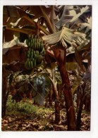 CP 10*15/BB117/BANANAIERS BANANA TREES - Fleurs, Plantes & Arbres