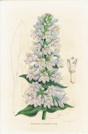CHROMOLITHOGRAPHIE G. SEVEREYNS  - Penstemon Cyananthus. Hook - Lithographies