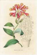 CHROMOLITHOGRAPHIE G. SEVEREYNS  - Bomarea Edulis. Hook - Lithographies