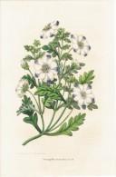 CHROMOLITHOGRAPHIE G. SEVEREYNS  - Nemophila Maculata. Benth. (Lihographie De La Société Royale D´Horticulture De Gand) - Lithographies