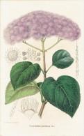 CHROMOLITHOGRAPHIE G. SEVEREYNS  - Conoclinium Janthinum. Morr.. (Lith. Et Imp. Par G. Severeyns) - Lithographies