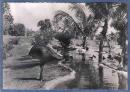 Carte Postale Océanie  Nouvelle-Guinée  Australie  Casoar  Trés Beau Plan - Papua New Guinea
