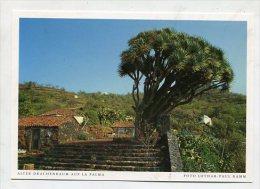 SPAIN  - AK 193090 La Palma - Alter Drachenbaum - La Palma