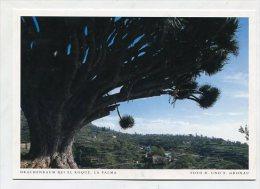 SPAIN  - AK 193102 La Palma - Drachenbaum Bei El Roque - La Palma